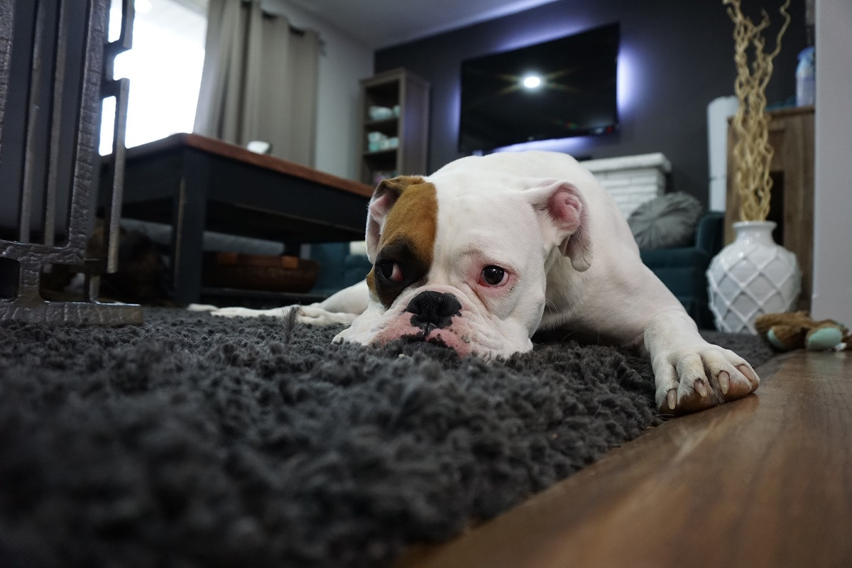 best vacuum for pet hair and hardwood floors and carpet of how to get rid of dog odor in your carpet servicemaster clean for whether youre the proud parent of one tail wagging four legged friend or a whole pack of them its not uncommon for dog owners to notice a distinct odor